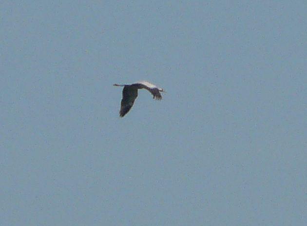 kraanvogel845