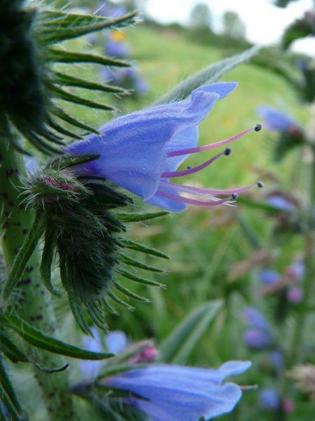 slangekruid-bloem-648